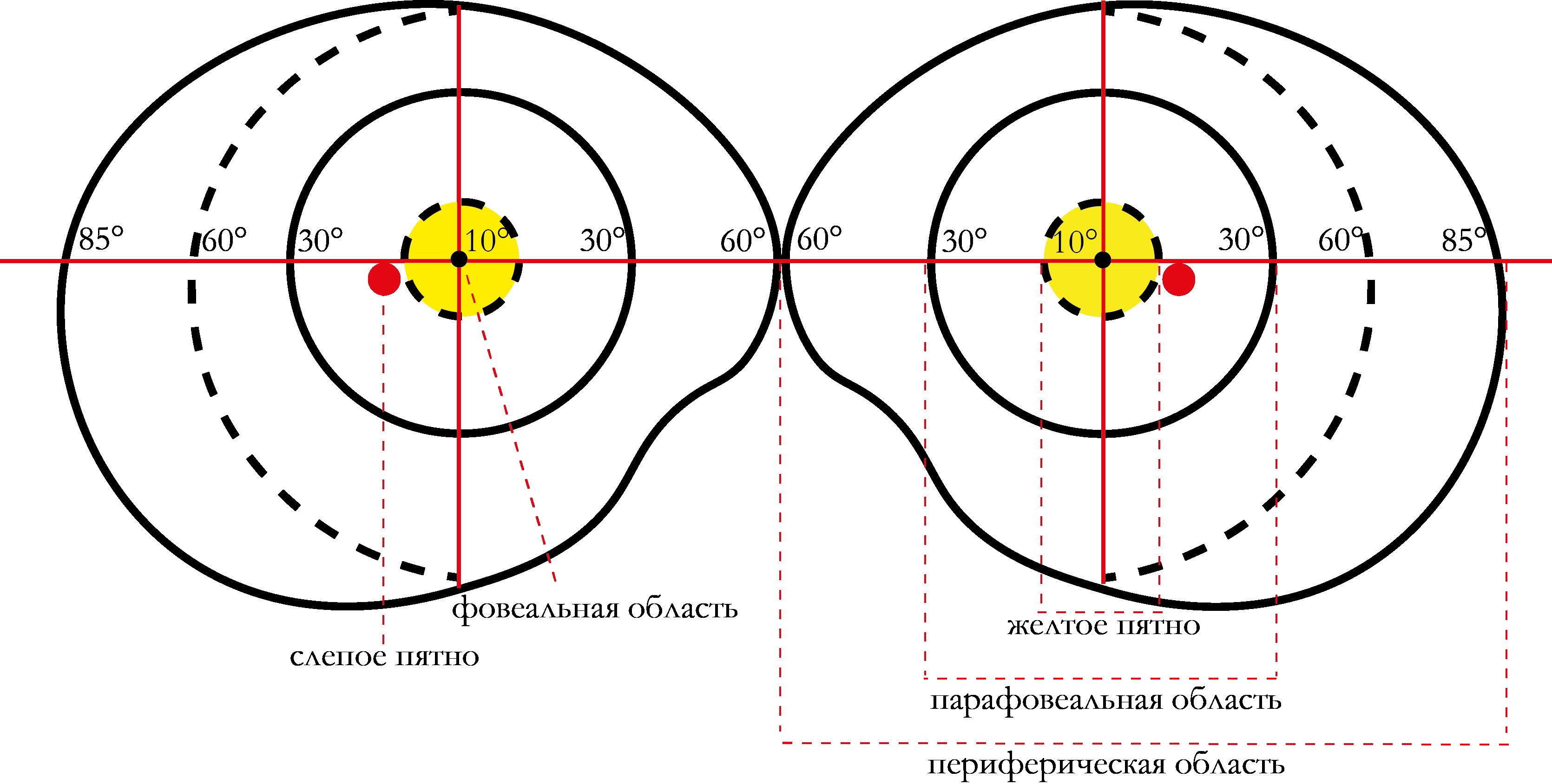Схематическое изображение полей зрения